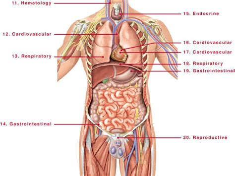 diagram of human human organs diagram human anatomy diagram