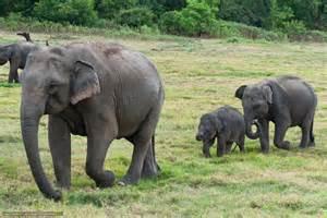 Download wallpaper sri lanka elephant slonyata free desktop
