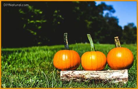 preserving pumpkins preserving your pumpkins i decoration