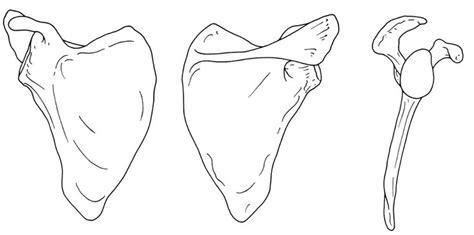 scapula anatomy bones scapula anatomy