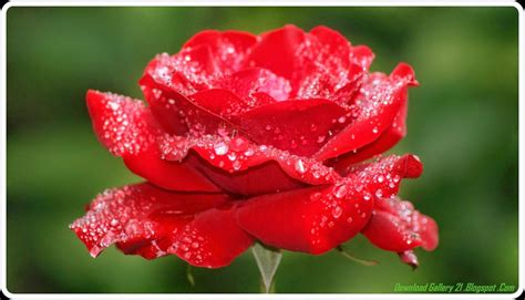 wallpaper rose flower beauty beautiful natural flower hd wallpaper free desktop wallpaper