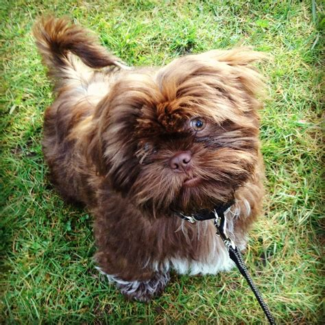 shih tzu brown brown shih tzu hector animals