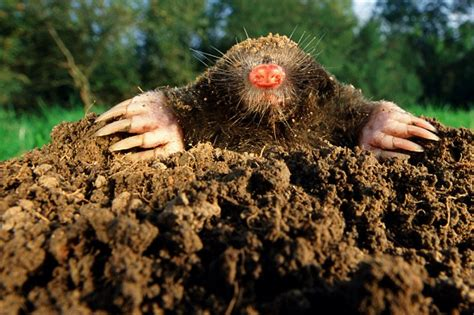 Garden Mole by Moles Are For Your Garden A New Study Reveals Daily