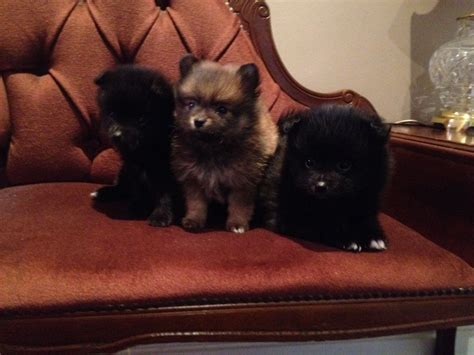 pomeranian puppies for sale in manchester three pomeranian puppies for sale 2black 1sable manchester greater manchester