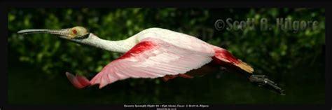 Wading Birds Spoonbills Ibis