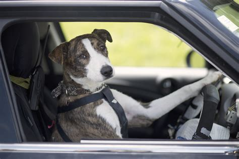 dogs in the news new zealand s spca draftfcb and mini put dogs in the driving seat in unconventional