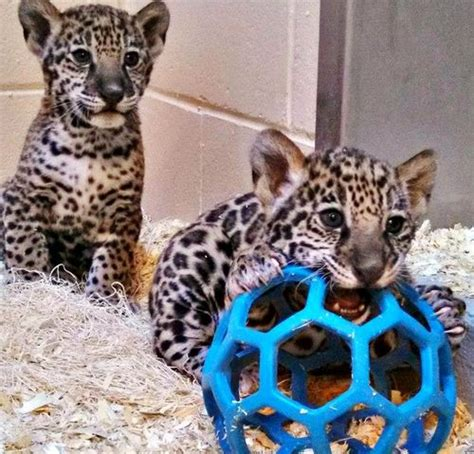 what does a jaguar eat update milwaukee s jaguar cubs eat play grow zooborns