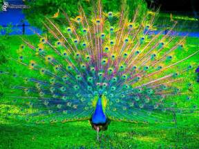 Pavo real pictures