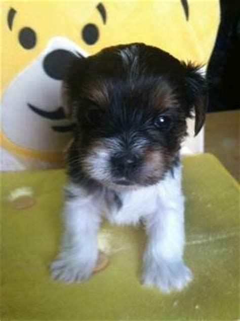 akc parti yorkie 1000 ideas about yorkie puppies on yorkie teacup yorkie and