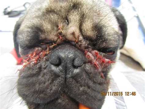 pug nostril surgery pug surgery fold eye photo