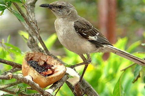 mockingbird www pixshark com images galleries with a bite