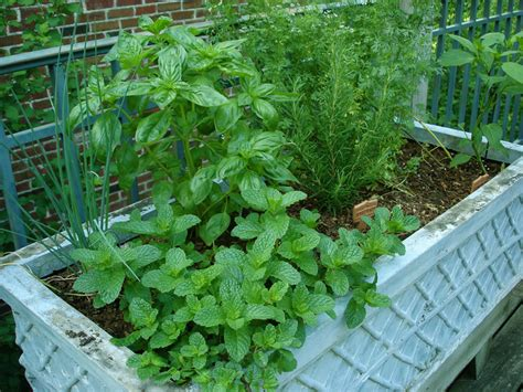how to grow a herb garden in pots herbs in containers bonnie plants