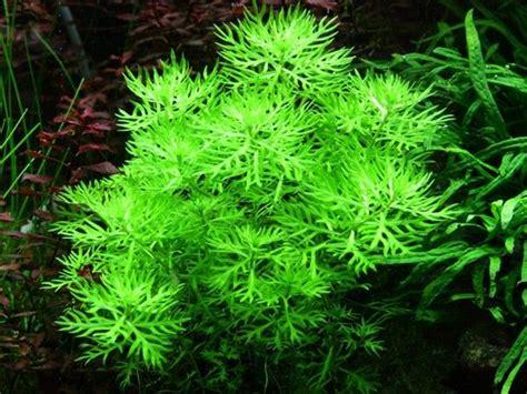 Aquascape Com Hottonia Palustris Aqua Garden Pinterest
