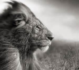 1080x960 hewan wallpaper download   gambar mane wallpaper singa