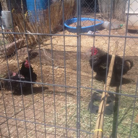 Backyard Chickens New Mexico I Beautiful Chickens In Need Of Rehoming Deming New