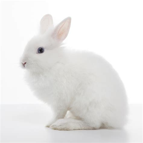 White Rabbit White Bunny Rabbit White Rabbit Isolated On White