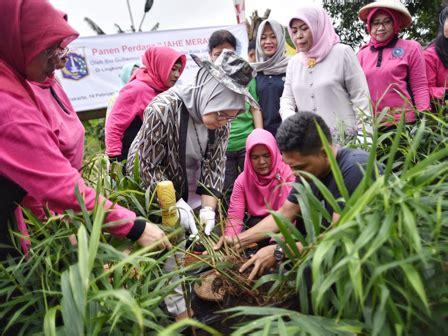 Bibit Jahe Merah Jakarta ketua tp pkk dki panen jahe merah di malaka sari