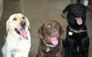 color labs yellow chocolate and black labrador retrievers
