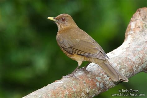clay colored thrush birds in focus clay colored thrush