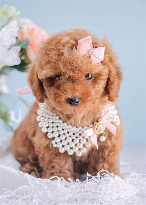 toys for puppies cutest poodle puppies available south florida teacups puppies boutique