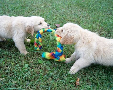 our sanity retreat golden retrievers our sanity retreat golden retrievers puppy gallery i