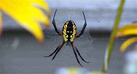 Black And Yellow Garden Spider by Black Yellow Garden Spider
