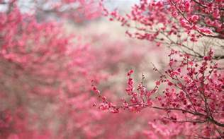 cherry blossom image cherry blossom backgrounds wallpaper cave