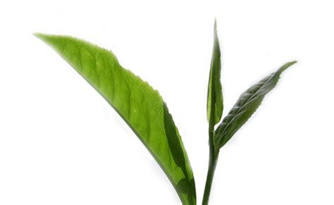 jaga sehat cegah glukoma dengan teh hijau