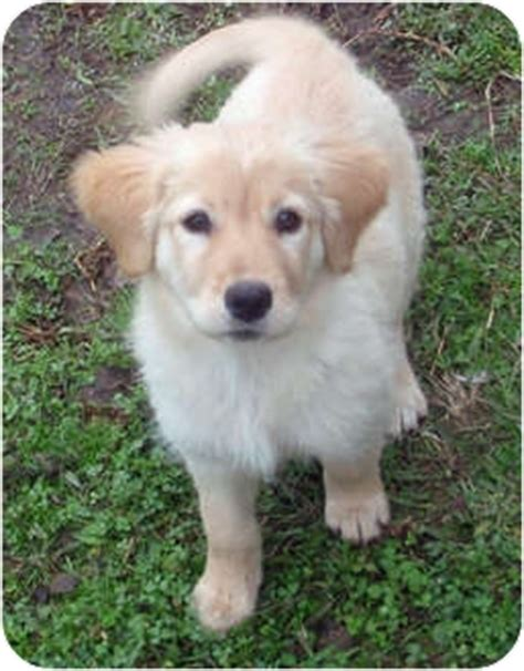 golden retriever houston harmony adopted puppy 413 houston tx golden retriever