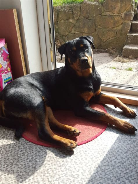 rottweiler stud wanted rottweiler studs wanted nottingham nottinghamshire pets4homes