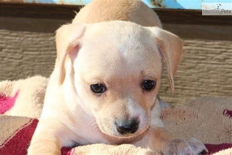 chiweenie puppies near me 1 available chihuahua puppy for sale near tulsa oklahoma b241a063 9f01