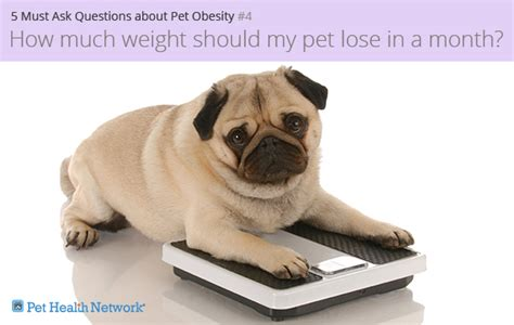 how much should my pug weigh 5 must ask questions about pet obesity