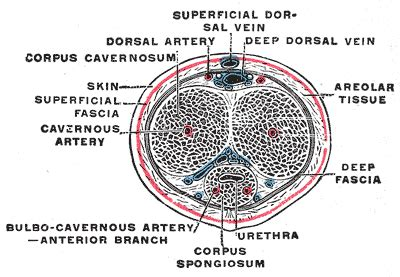 cross section penis anatomy of the penis
