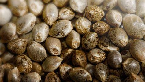 semi cannabis come scegliere e dove comprare i migliori semi di
