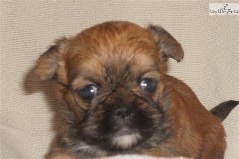 shiffon puppies for sale brussels griffon puppy for sale near springfield missouri 6c03ed36 09b1