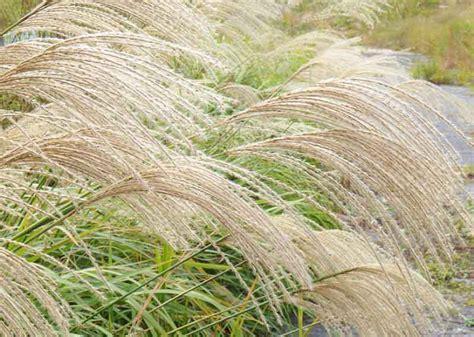 miscanthus sinensis japanese silver grass