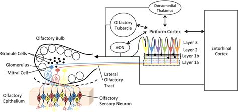 olfactory pathway diagram frontiers sleep and olfactory cortical plasticity