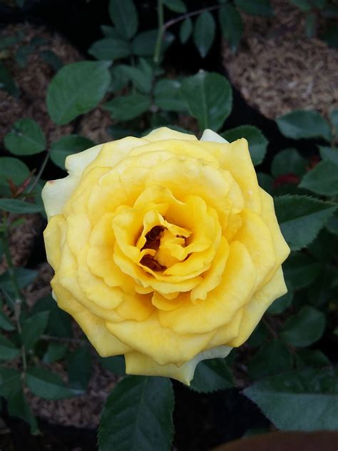 populer  bunga mawar  mekar gambar bunga indah