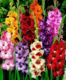 gladiolus flowers gladioli flowers