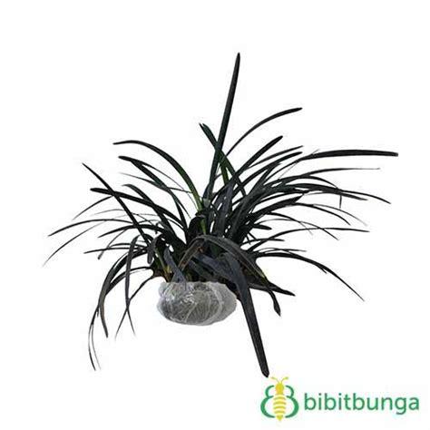 tanaman rumput hitam black mondo grass bibitbunga