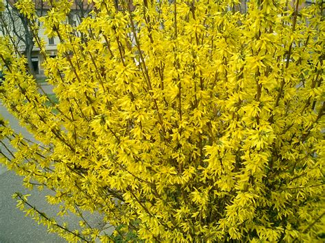 212 the beautiful of forsythia flower wallpapers