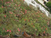 rumahpohon menjual adenium bunga hias biji aneka pot