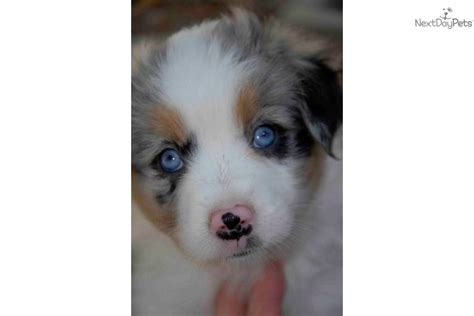 miniature puppies for sale near me australian shepherd puppies for sale near me breeds picture