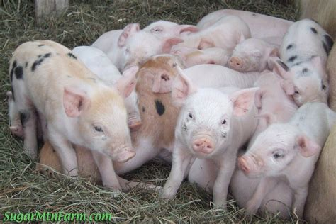 Do Pigs Shed by Keeping A Pig For Sugar Mountain Farm