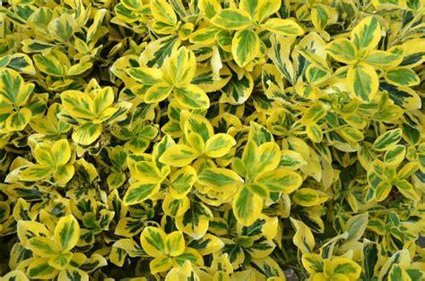 euonymus fortunei emerald n gold wintercreeper