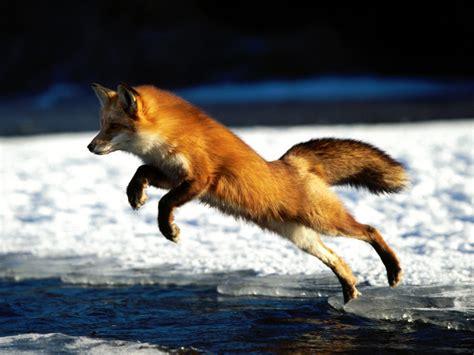 red fox  life  animals