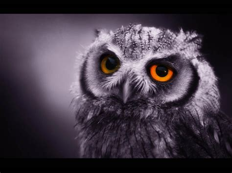 wallpapers funny owl