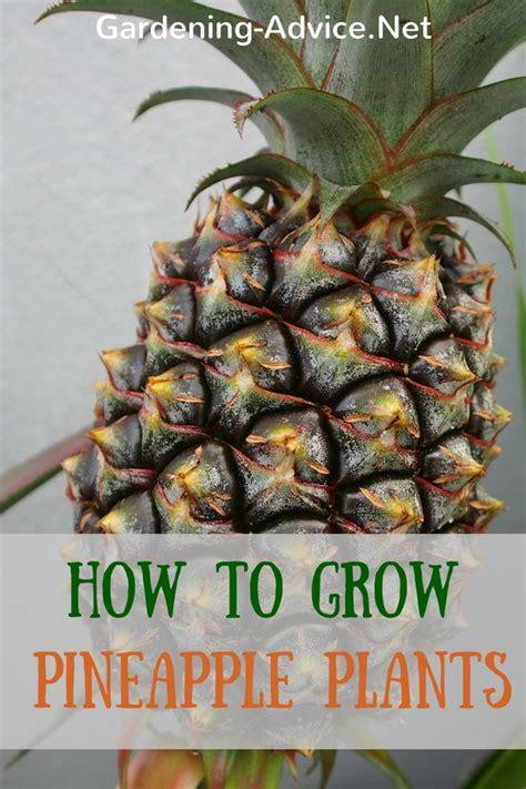 grow  pineapple plant   houseplant