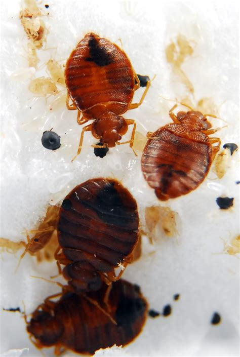 How Do Bed Bugs Reproduce by Bed Bugs Reproduction Pestmall