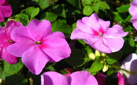 impatiens fiore impatiens flower wallpaper wide